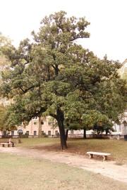 Magnolia grandiflora tree (20/10/2011, Rome, Italy)