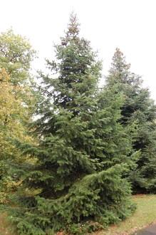 Abies nordmanniana subsp. nordmanniana (12/11/2011, Kew, London)