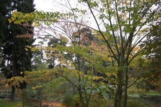 Acer capillipes (12/11/2011, Kew, London)