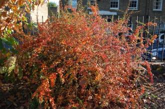 Berberis thunbergii autumn (01/11/2011, London)