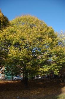Carpinus betulus autumn (01/11/2011, London)