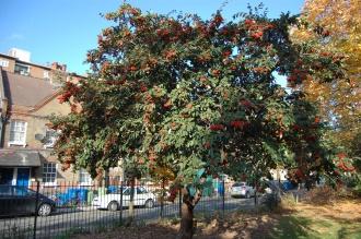 Cotoneaster cornubia (01/11/2011, London)