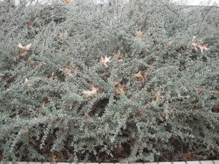 Cotoneaster integrifolius (10/11/2011, London)