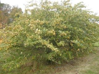 Cotoneaster salicifolius 'Rothschildianus' (Cambridge, 03/11/2011)