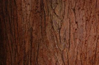 Cunninghamia lanceolata bark (12/11/2011, Kew, London)