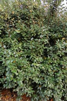 Elaeagnus x ebbingei (12/11/2011, Kew, London)