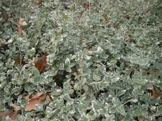 Euonymus fortunei 'Silver Queen' (10/11/2011, London)
