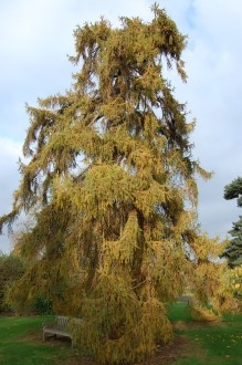 Larix decidua (12/11/2011, Kew, London)