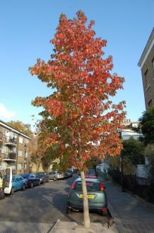 Liquidambar styraciflua autumn (01/11/2011, London)