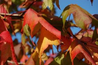 Liquidambar styraciflua autumn leaf (01/11/2011, London)