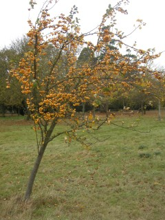 Malus 'Golden Hornet' (Cambridge, 03/11/2011)