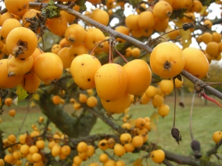 Malus 'Golden Hornet' fruit (Cambridge, 03/11/2011)