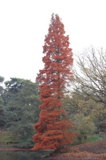 Metasequoia glyptostroboides autumn (12/11/2011, Kew, London)
