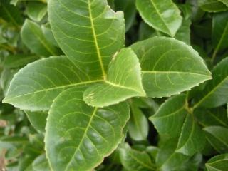 Prunus laurocerasus detail (Cambridge, 03/11/2011)