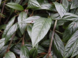 Cotoneaster salicifolius 'Repens' leaf (04/12/2011, London)