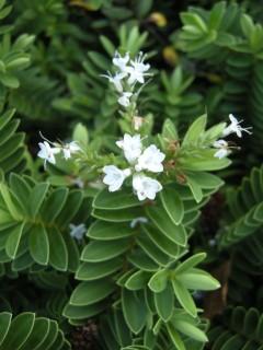 Hebe rakaiensis flower (13/11/2011, London)
