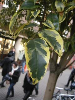 Ligustrum lucidum 'Excelsum Superbum' leaf (17/12/2011, London)