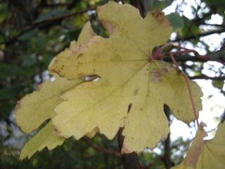 Vitis vinifera autumn leaf (05/12/2011, London)
