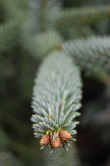 Abies pinsapo 'Glauca' detail (26/12/2011, Belkovice, Czech Republic)