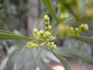 Acacia retinodes flower buds (11/01/2012, London)