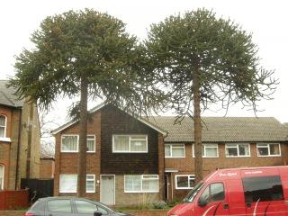 Araucaria araucana Mature Tree (20/01/12, London)