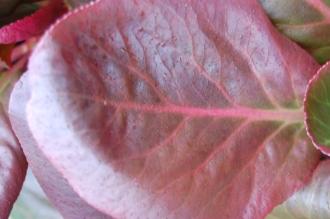 Bergenia purpurascens leaf (21/01/2012, Kew, London)