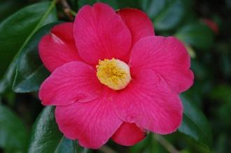 Camellia japonica 'Donkelaarii' Flower (21/01/2012, Kew, London)