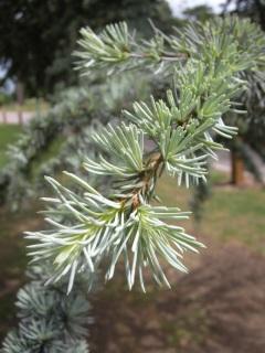 Cedrus libani leaves (17/05/2011, Cambridge)