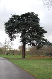 Cedrus libani (21/01/2012, Kew, London)