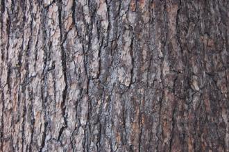 Cedrus libani trunk (21/01/2012, Kew, London)