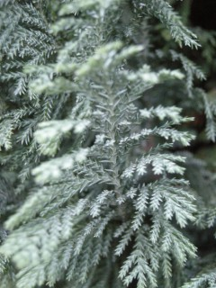 Chamaecyparis lawsoniana 'Ellwoodii' leaf detail (11/01/2012, London)