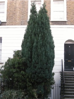 Chamaecyparis lawsoniana 'Ellwoodii' (11/01/2012, London)