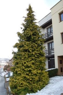 Chamaecyparis lawsoniana 'Lutea' (02/01/2012, Vsetin, Czech Republic)
