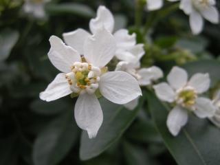 Choisya ternata flower (11//01/2012, Walworth, London)