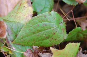 Epimedium alpinum leaf (21/01/2012, Kew, London)