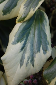 Hedera colchica 'Dentata Variegata' Leaf (21/01/2012, Kew, London)