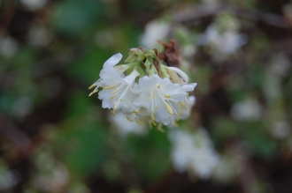 Lonicera x purpusii flower (21/01/2012, Kew, London)
