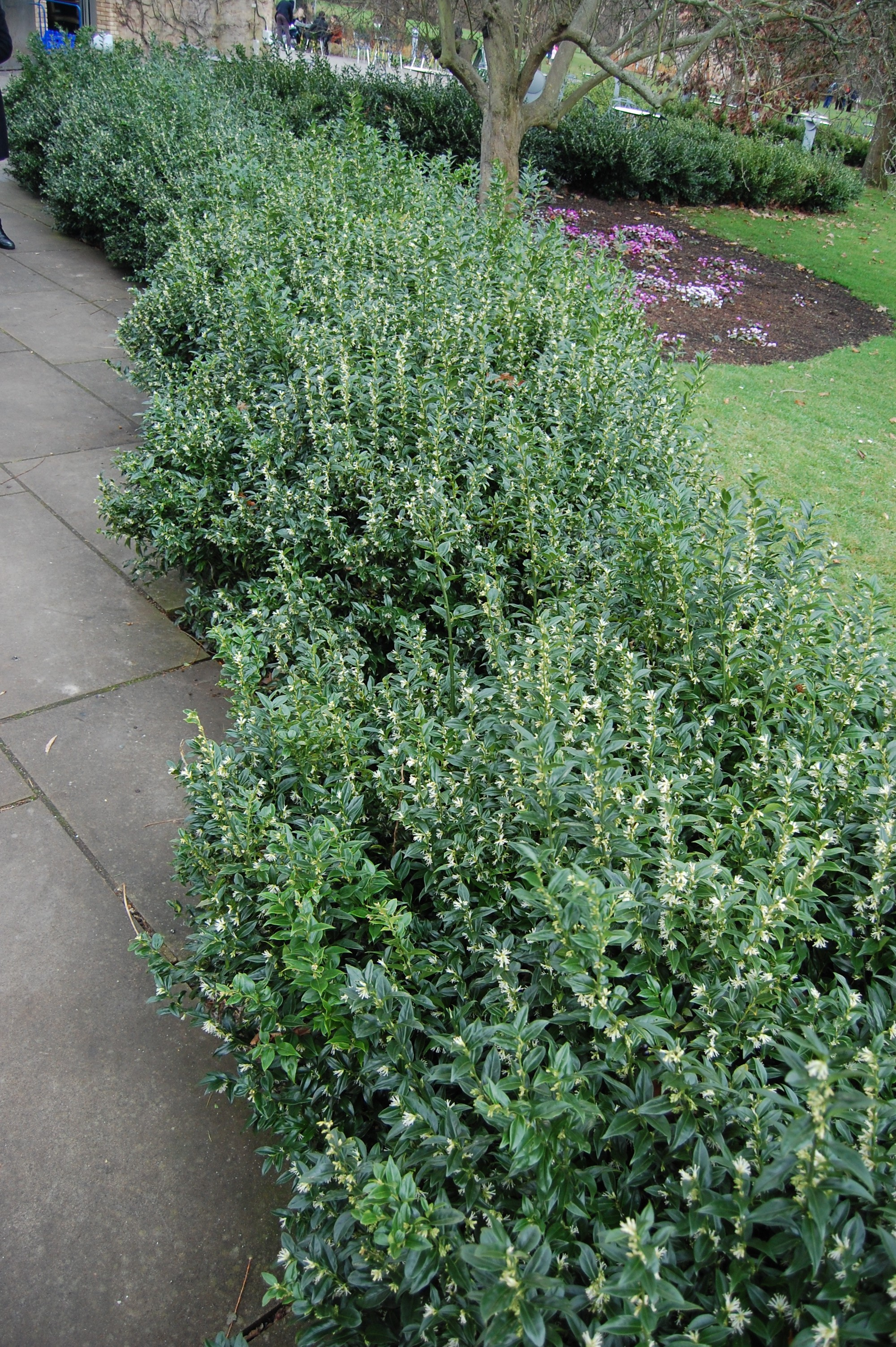 Sarcococca confusa landscape architect 39 s pages for Garden shrubs
