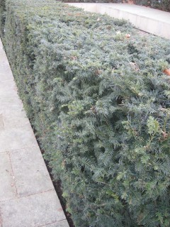Taxus baccata hedge (18/01/2012, Kings Cross, London)