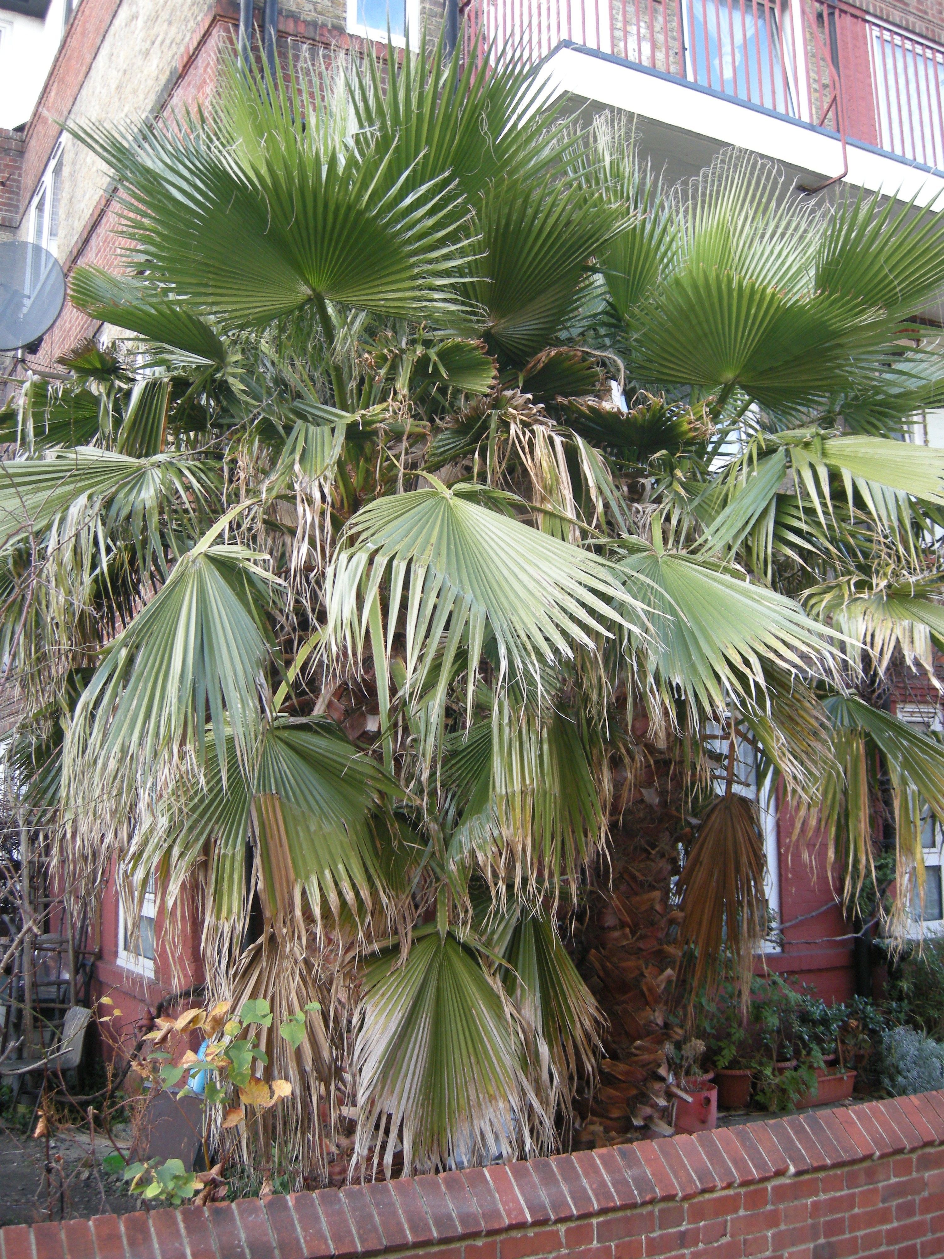 Picture of Live Washington fan palm aka Washingtonia robusta Plant Fit 5 Gallon Pot