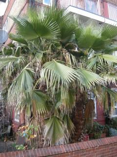 Washingtonia robusta (14/01/2012, London)