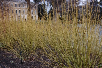 Cornus sericea 'Budds Yellow' (21/01/2012, Kew, London)