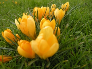 Crocus flavus (16/02/2012, London)