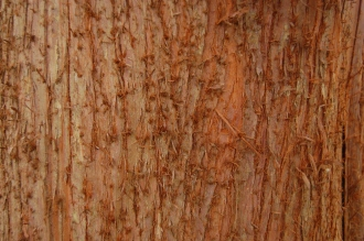 Cryptomeria japonica bark (18/02/2012, Kew, London)