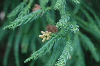 Cryptomeria japonica immature male cones (18/02/2012, Kew, London)