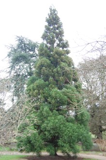 Cryptomeria japonica (18/02/2012, Kew, London)