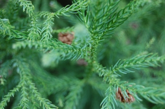 Cryptomeria japonica leaf with female cones in background (18/02/2012, Kew, London)