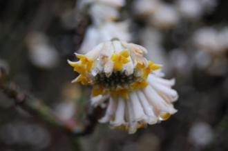 Edgeworthia chrysantha (18/02/2012, Kew, London)