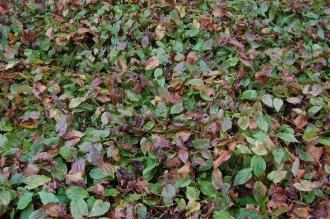 Epimedium alpinum (21/01/2012, Kew, London)