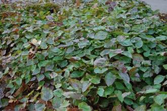 Epimedium x versicolor 'Sulphureum' (21/01/2012, Kew, London)